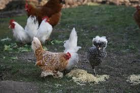 poules battent